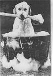 chien se lavant